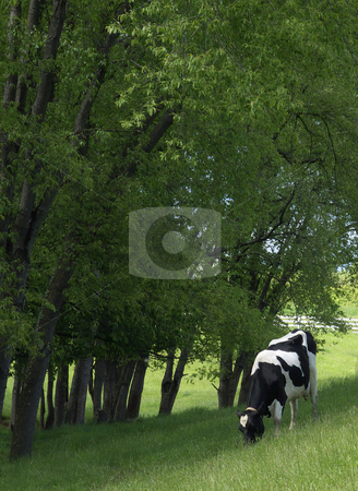 Grazing Cow stock photo, A Holstein dairy cow grazing in the shade of trees. by Kathy Piper
