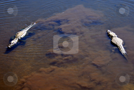 Alligators stock photo, 2 alligators swimming in a lake by Lucy Clark