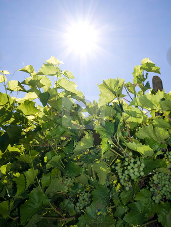 Vineyard in Summer stock photo, Vineyard against bright summer sun with blue sky by Laurent Dambies