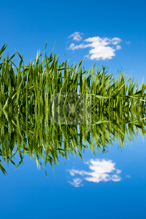 Green wheat field with water ripples stock photo, Green wheat field at spring under blue with clouds reflecting on water by Laurent Dambies