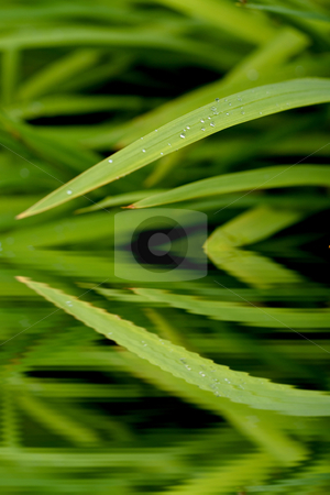 Green leaves reflection stock photo, Green leaves with drops reflecting in water by Laurent Dambies