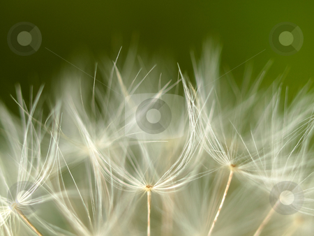 Dandelion macro stock photo, Extreme macro of a dandelion by Laurent Dambies