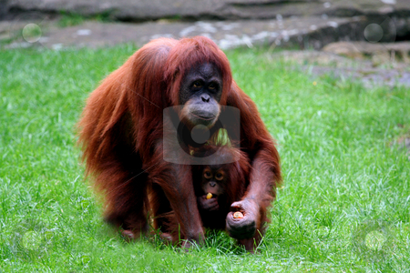 Orangutan with baby stock photo, Orangutan holding baby and eating carrots. by Martin Crowdy