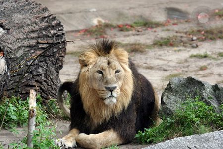Portrait of noble male lion. stock photo, Portrait of a noble male lion lying on ground. by Martin Crowdy