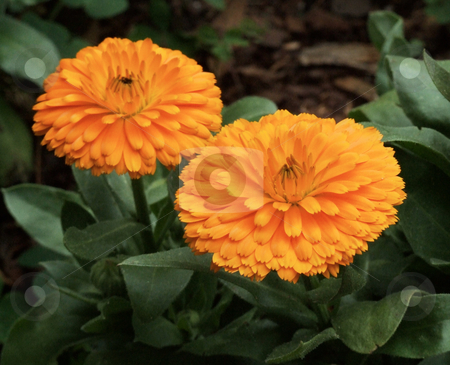 Orange Chrysanthemum stock photo, Chrysanthemums belong to the family of perenial flowers called Asteraceae and are nation to Asia and northeastern Europe. by Marburg