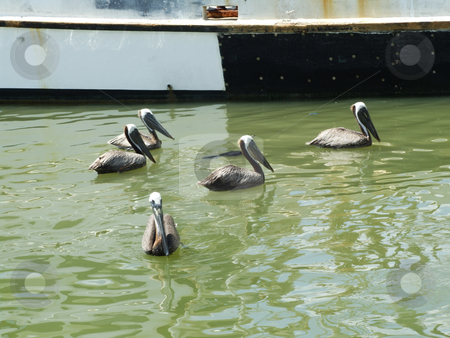 Pelican Flock stock photo, A flock of pelicans swimming near a shrimp boat by Marburg