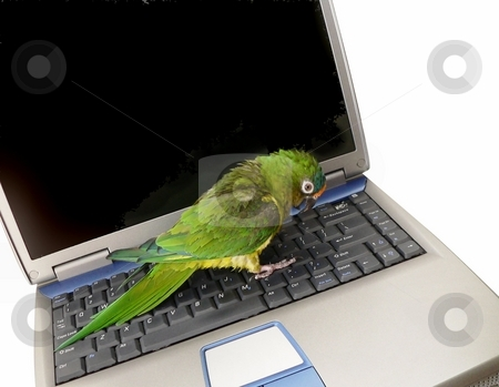 Parrot and laptop stock photo, A conure parrot sitting on a laptop with blank monitor for copy space by Perry Correll