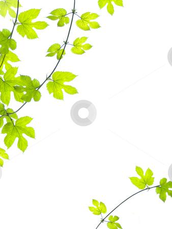 Green vine leaves background stock photo, Grean, vine leaves in summer background. by Juliet Photography