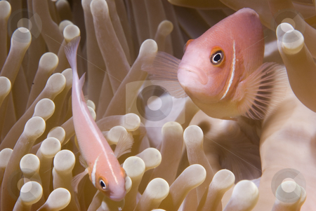Clown Fish Close-Up in Anemone stock photo, Pink Anemonefish (Amphiprion perideraion), commonly known as clownfish, guard their sea anemone home. by A Cotton Photo