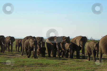 Herd of Elephant stock photo, A large herd of Elephant trekking in a long que across the Amboseli National Park in Kenya. by Rose Nthiwa