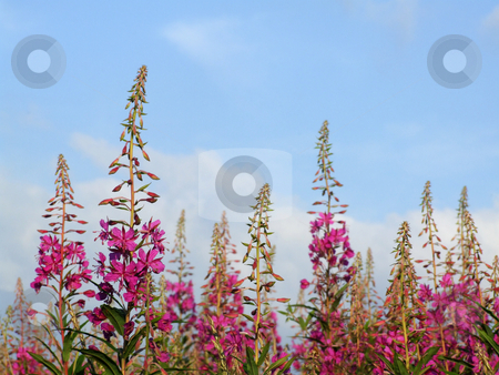 Pink flowers stock photo, Pink summer flowers against blue sky. by Juliet Photography