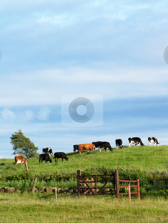 Cows on the hill stock photo, Cows on the hill on a sunny day. by Juliet Photography