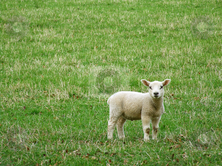 Baby sheep stock photo, Baby sheep looking into camera. by Juliet Photography