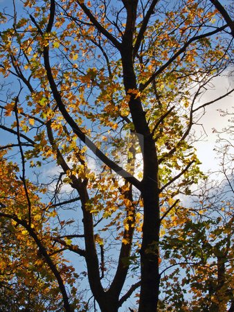 Autumn stock photo, Autumn trees against blue sky. by Juliet Photography