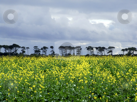 Yellow fields stock photo, Yellow fields of canola. by Juliet Photography