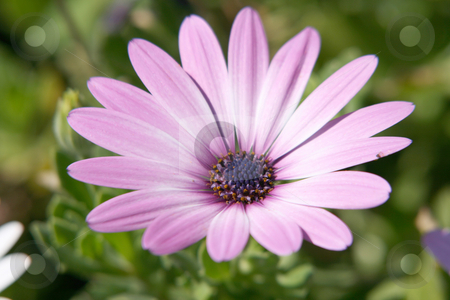 Pink flower stock photo, Pink flower closeup seasonal and nature concepts by EVANGELOS THOMAIDIS