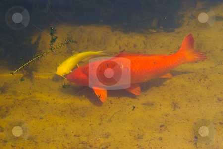 Fish Pond stock photo, Two large fish smimming in a pond by Jack Schiffer