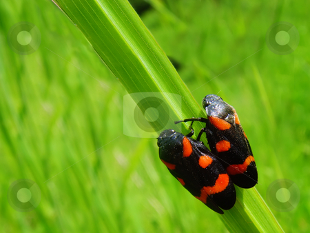 Two bugs stock photo, Two bugs standing on a grass side by side by Ivan Paunovic