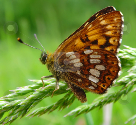 Butterfly stock photo, A rusty dotted butterfly on a grass by Ivan Paunovic