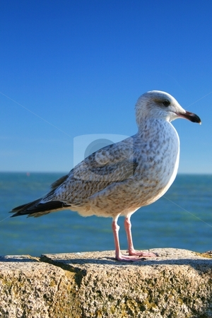 Seagull stock photo, Seagull by Louise Blankley