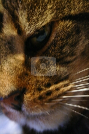 Cat  stock photo, Macro of tabby cat by Louise Blankley