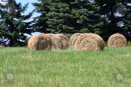 Hay stock photo, Round hay bales in a green pasture with trees behind. by Steve Stedman