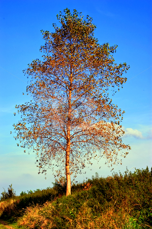 Birch stock photo, Solitaire tree in evening sun by Wino Evertz