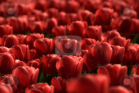 Deep red tulips only stock photo, Deep red tulips monochrome by Wino Evertz