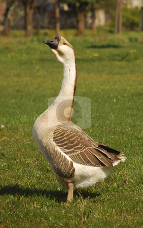 Male goose stock photo, Male goose standing proudly on the grass by Ivan Paunovic