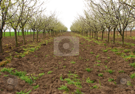 Apple orchard stock photo, An apple orchard blooming in spring by Ivan Paunovic