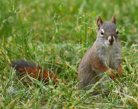 Squirrel in the Grass stock photo, Squirrel in the grass eating. by Steve Stedman