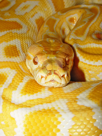 Portrait of a Burmese Python stock photo, Closeup view of an albino Burmese Python looking to the camera by Emmanuel Keller