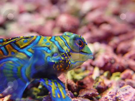 Closeup of a mandarin dragonet stock photo, Colorful mandarin dragonet fish (Synchiropus splendidus), taken at an aquarium of the zoo of Z???rich by Emmanuel Keller