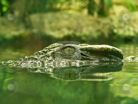 Crocodile's eye stock photo, Closeup of the eye and snout of a crocodile surfacing the water. Picture taken at the zoo of Z???rich by Emmanuel Keller