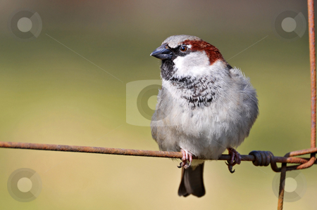 Sparrow perched on a fence stock photo, A sparrow is perched on a rusty wire fence. Picture taken at the zoo of Z???rich by Emmanuel Keller
