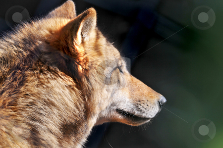 Portrait of a wolf stock photo, Profile portrait of a wolf living in the zoo of z???rich. by Emmanuel Keller
