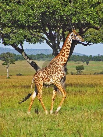 Running giraffe stock photo, A male giraffe running in the plains of the Masai Mara national park, Kenya by Emmanuel Keller