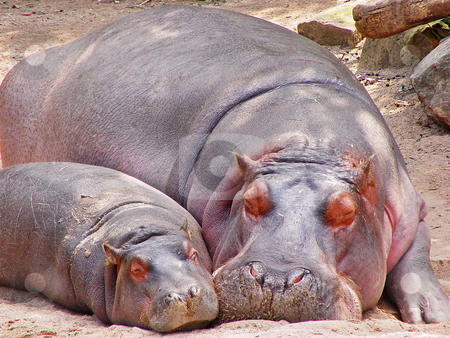Mother and calf hippopotamus stock photo, A mother hippotamus lies besides her calf, on the sand, both sleeping. Picture taken in the zoo of Hanover, Germany by Emmanuel Keller