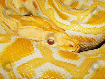 Closeup of a Burmese python stock photo, A closeup shot of a male albino Burmese python by Emmanuel Keller