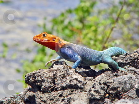 Red-headed agama on the rocks stock photo, Red-headed rock agama walking and taking some heat on a rock, at the Shanzu Beach, Mombasa, Kenya by Emmanuel Keller