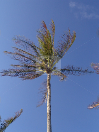 Coconut Tree stock photo, Coconut trees from Kauai Hawaii. by Steve Stedman