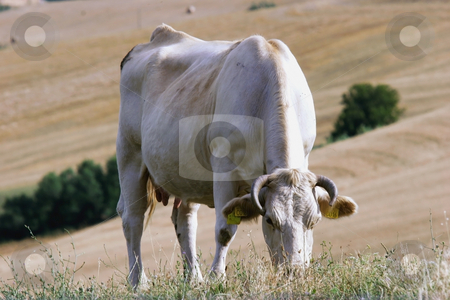 Cow pasture stock photo,  by Luca Mosconi