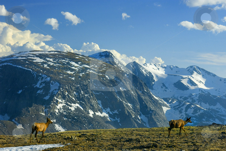 Follow the Leader stock photo, A pair of elk seemingly playing a bit of follow the leader head over a ridge near the top of Trail Ridge Road in Rocky Mountain National PArk in Colorado by Mike Dawson