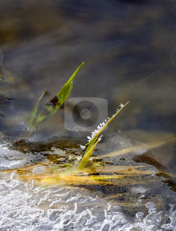 Frozen in Place stock photo, I was snowshoeing when I found Umptanum Creek dribbling into the Yakima River and along the shores I found this one blade of grass still covered in frost among the ice and moving water, kneeling in the ice and water to get this shot which no more than 6