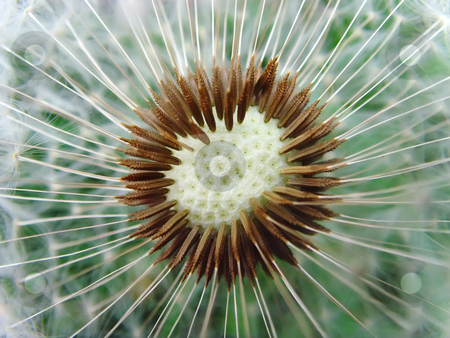 Dandelion stock photo, A close up of a head of a dandelion by Ivan Paunovic