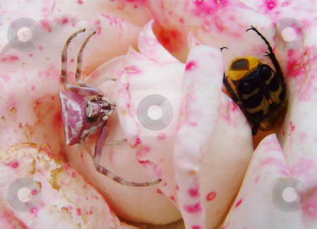 Pink death stock photo, A spider is hunting a bug in a rose flower by Ivan Paunovic