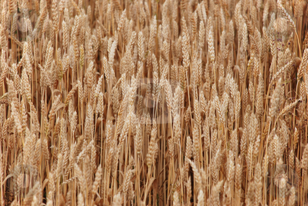 Wheat stock photo, A background of a field of cropped wheat by Ivan Paunovic