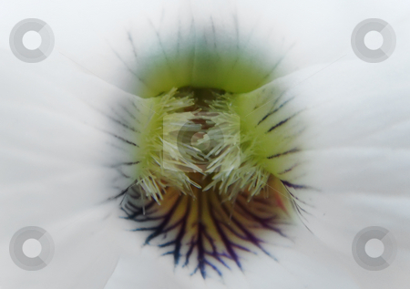 White pansy throath stock photo, A close up of a throat of a white pansy by Ivan Paunovic