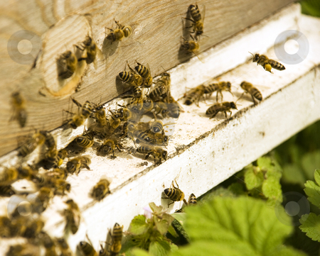 Bees on an assignment stock photo, Close up of bees on an assignment by Ivan Paunovic