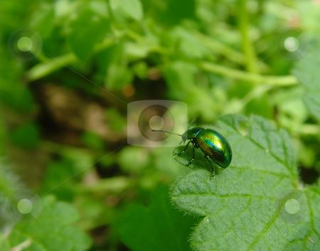 Metallic bug stock photo, A metallic green bug standing on a leaf by Ivan Paunovic